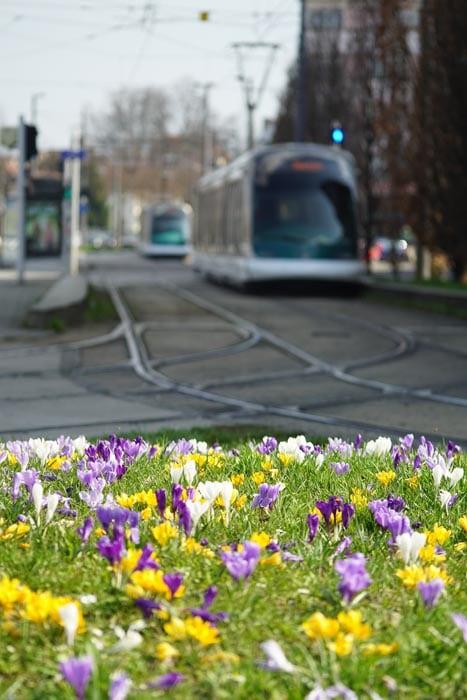 Tramway et petites fleurs à Strasbourg