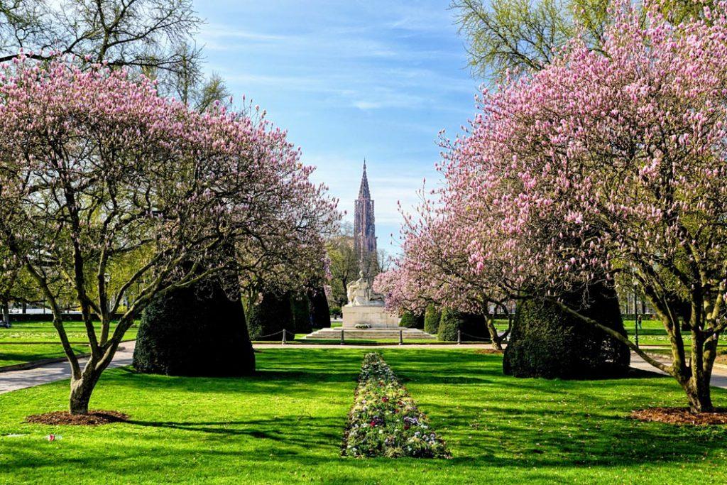 Magnolias en fleurs place de la république à Strasbourg