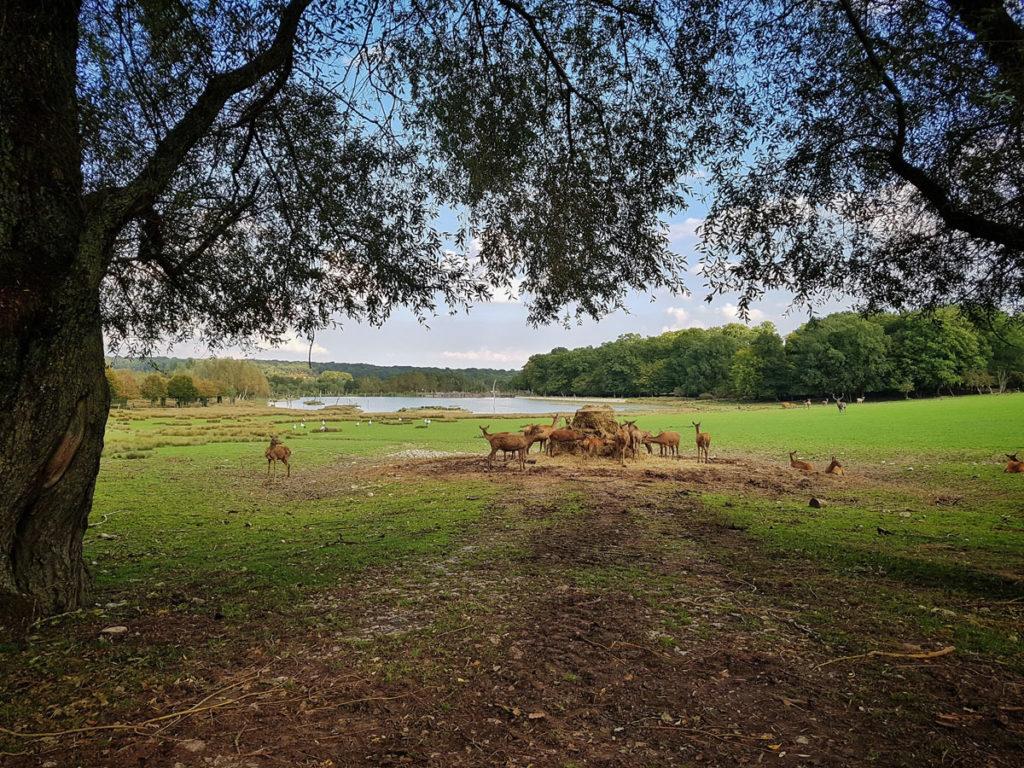 Cerfs et daims du parc de Sainte-Croix