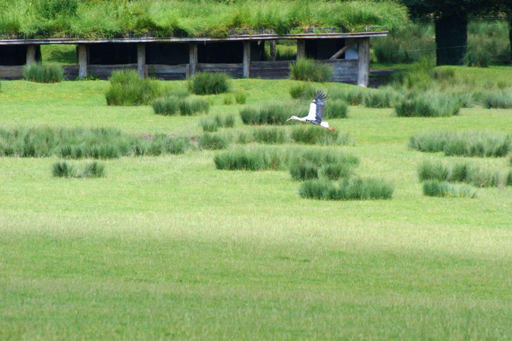 Cigogne au Parc de Sainte-Croix