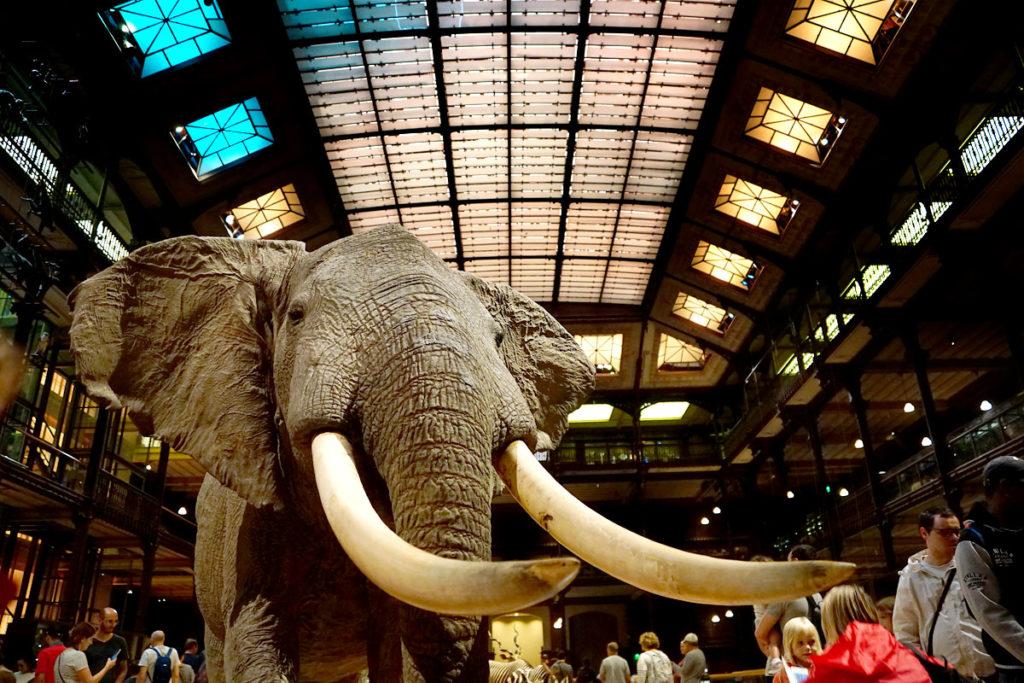 Elephant à la Grande Galerie de l'Evolution
