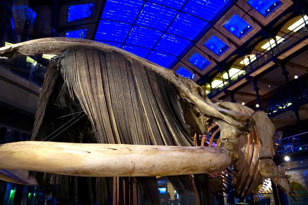 Baleine australe à la Grande Galerie de l'Evolution