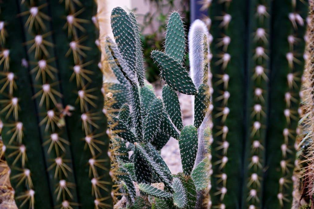 Cactus dans la serre du jardin botanique de Bayeux