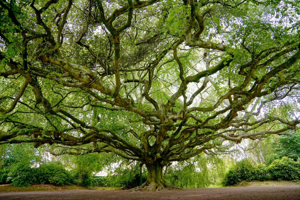 Hêtre pleureur du jardin botanique de Bayeux