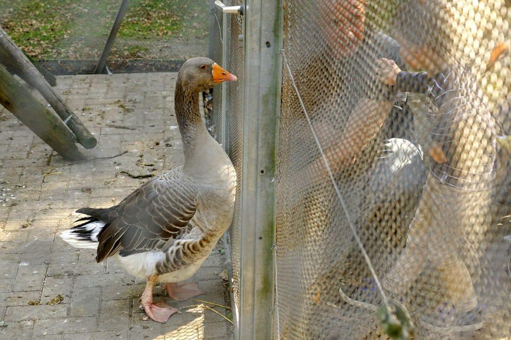 Oie au parc Friedel