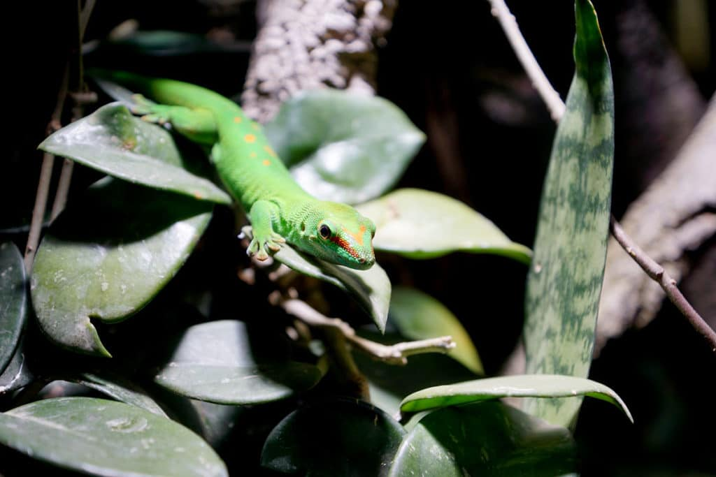 Gecko au Mundenhof