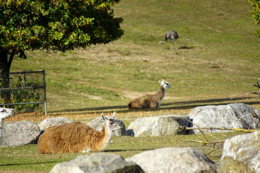 Lama et nandou au Mundenhof