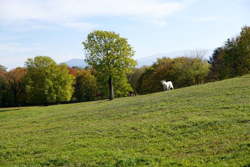 Chèvres du cachemire au Mundenhof