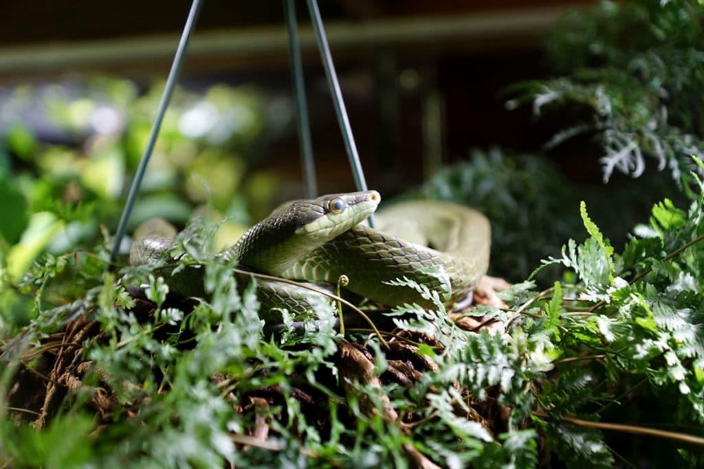 Serpent ratier au Mundenhof