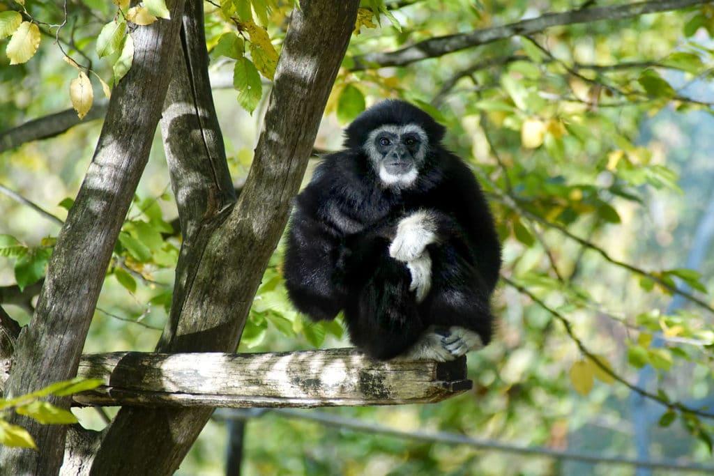Gibbon au Mundenhof