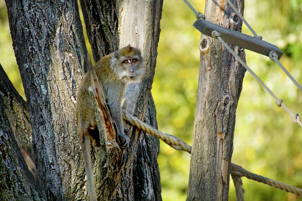 Macaque de Java au Mundenhof