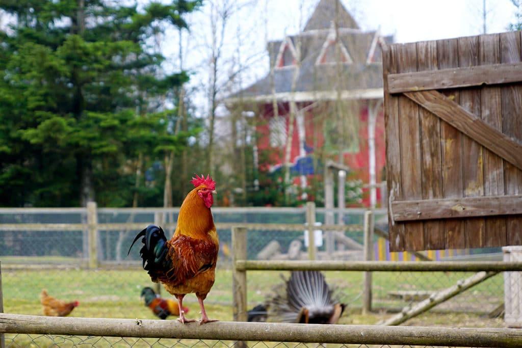 Le coq à la mini ferme de Center Parcs Trois Forets