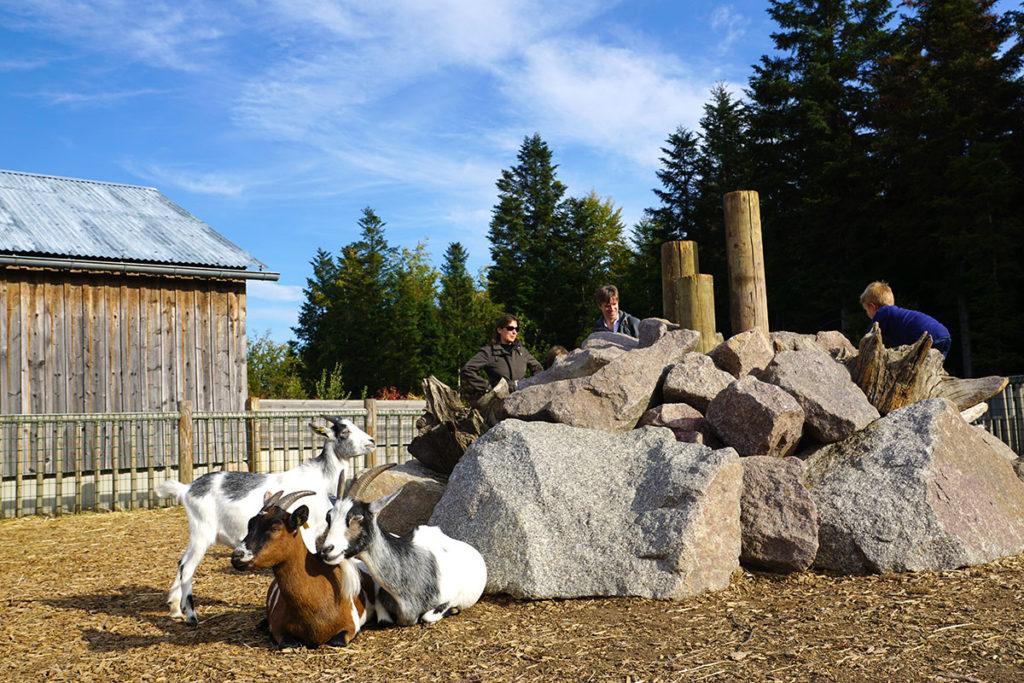 Les chèvres à la mini ferme de Center Parcs Trois Forêts