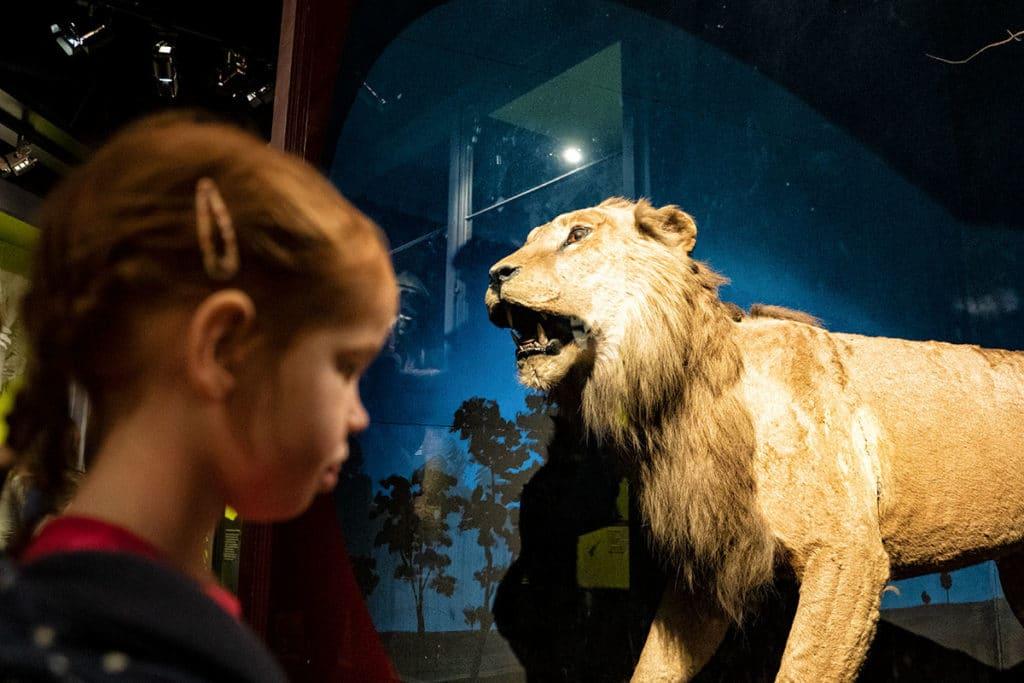 Lion au musée zoologique de Strasbourg