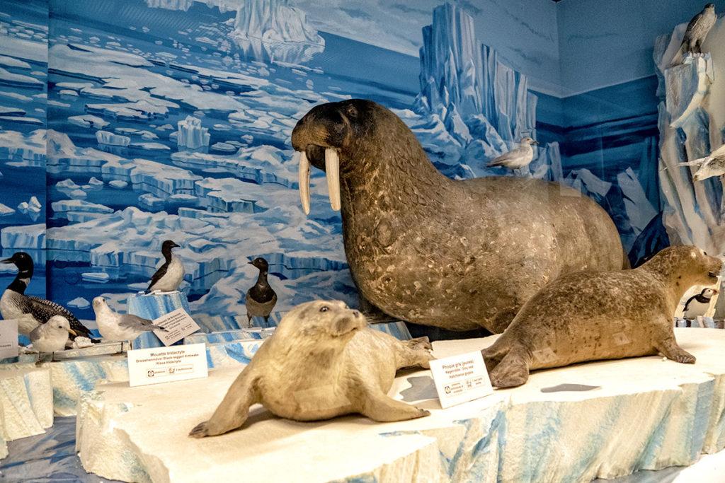 Morse du musée zoologique de Strasbourg