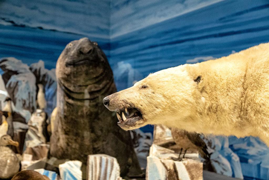Ours et éléphant de mer au musée zoologique de Strasbourg