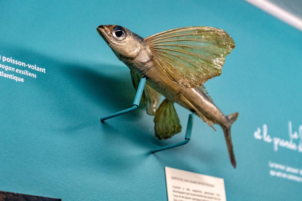 Poisson volant au musée zoologique de Strasbourg