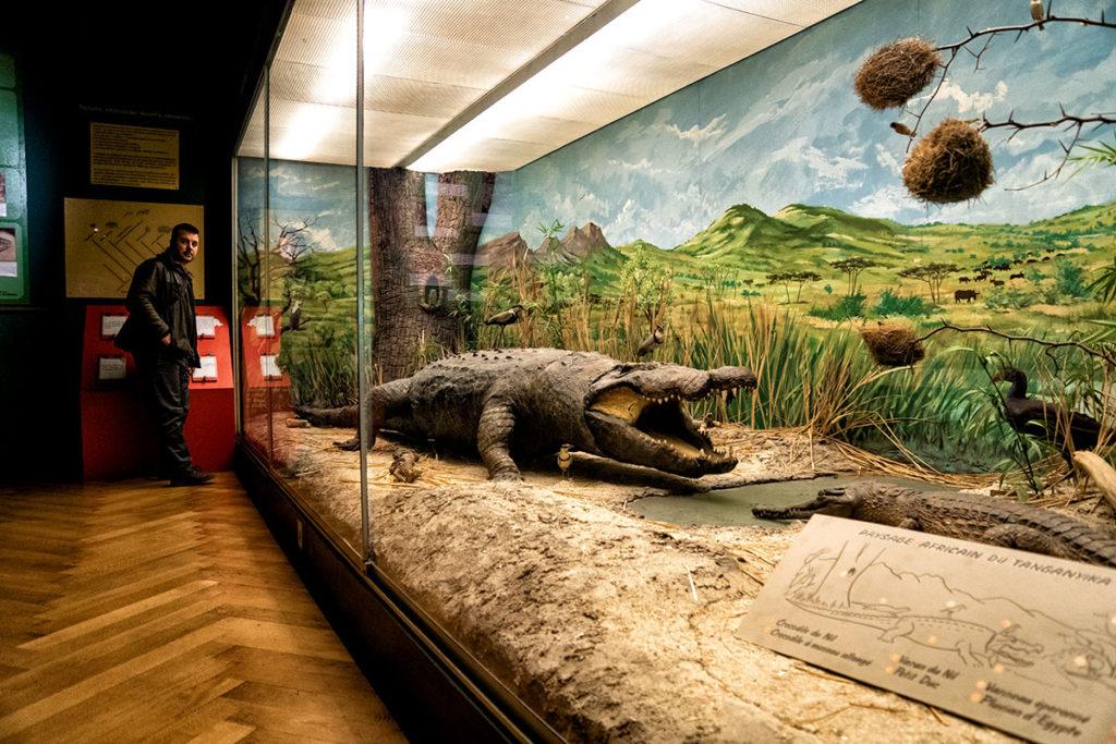 Crocodile du Nil au musée zoologique de Strasbourg
