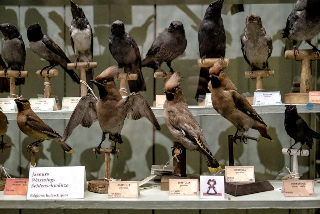 Oiseau alsacien au musée zoologique de Strasbourg
