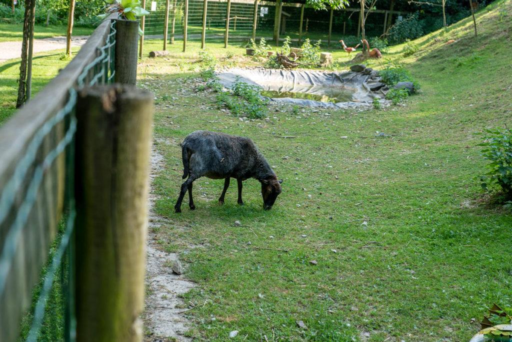 Chèvre du Fort Kléber à Wolfisheim