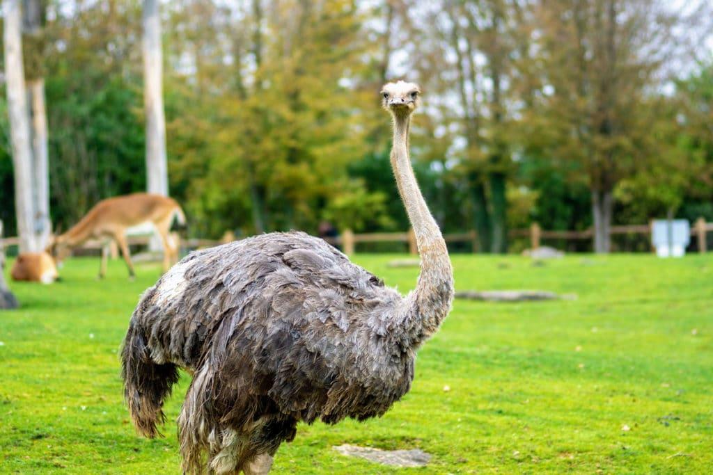 Autruche au zoo d'Amnéville
