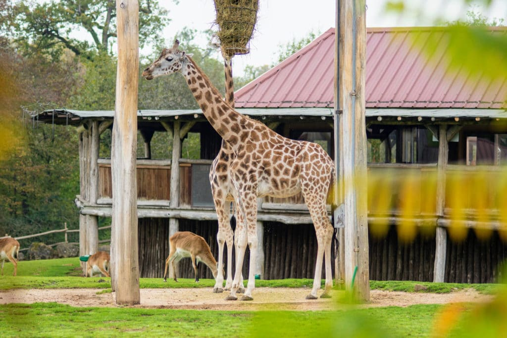 Girafe au zoo d'Amnéville