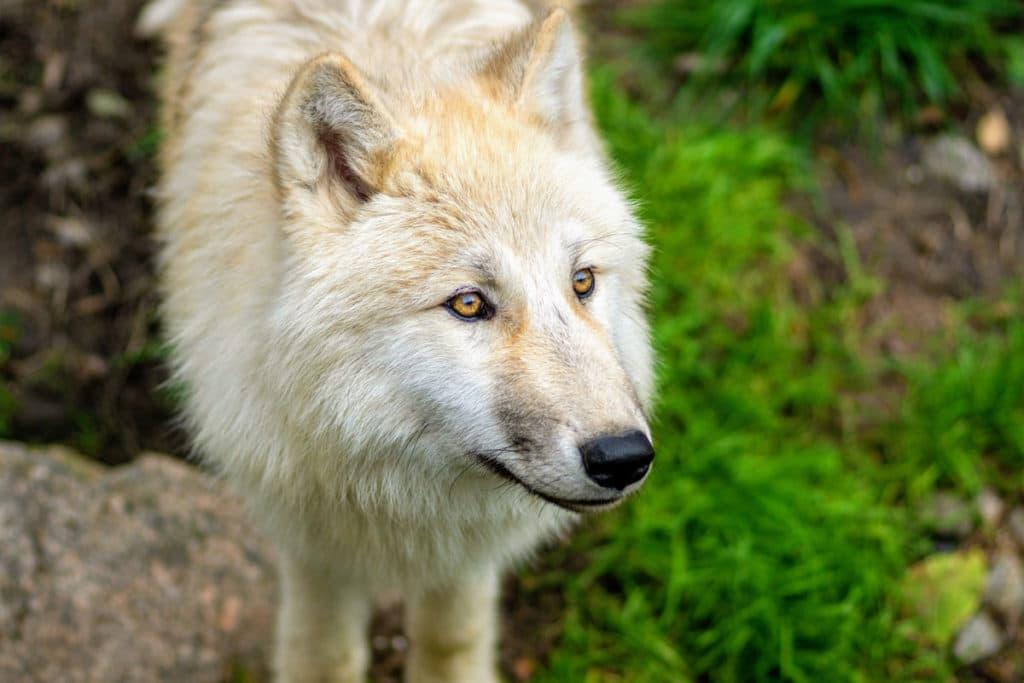 Loup blanc au zoo d'Amnéville