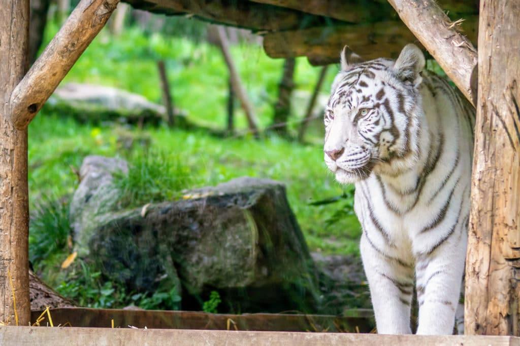 Tigre blanc au zoo d'Amnéville