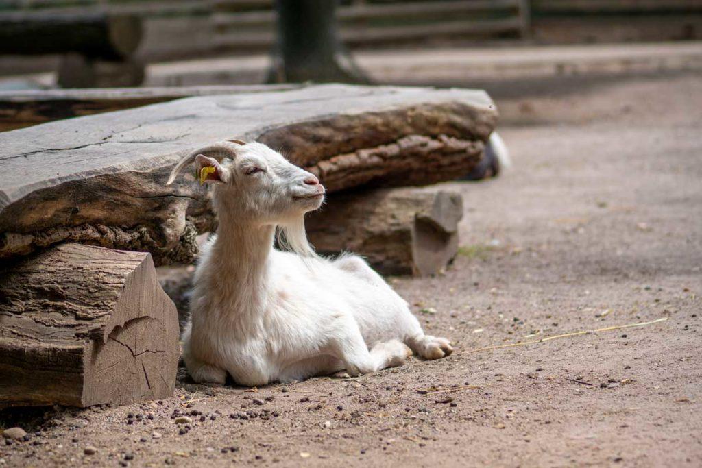Chèvre qui se repose près d'un banc du parc Friedel