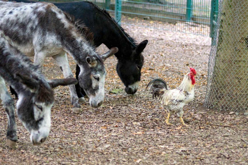 Coq et ânes au parc Friedel