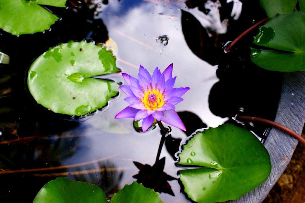 Fleur des Seychelles