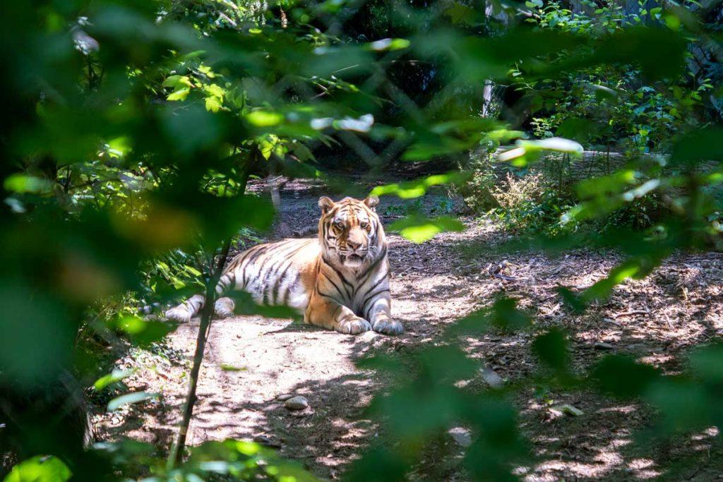 Tigre au zoo de Mulhouse
