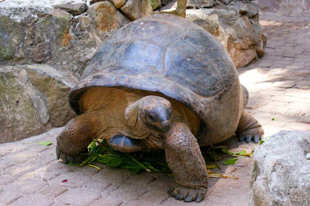Tortue aux Seychelles