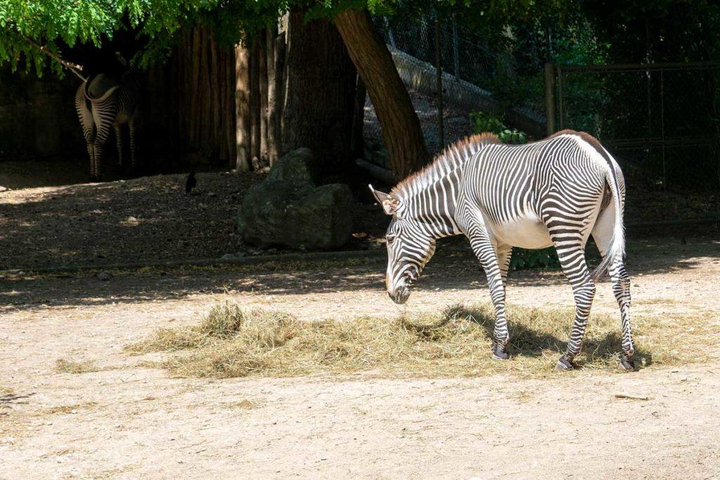 Zèbre au zoo de Mulhouse